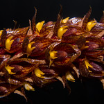 Bulbophyllum careyanum