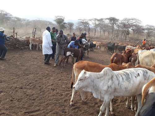 Nov/2017 - ILRI supported the Livestock Training Agency (LITA) in Tanzania to train it's staff as Trainers of vaccinators of the ECF_ITM vaccine (photo credit: ILRI/Lwitiko Mwakalukwa).