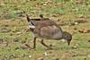 _W4A9546 Common Moorhen (Gallinula chloropus) by ajmatthehiddenhouse
