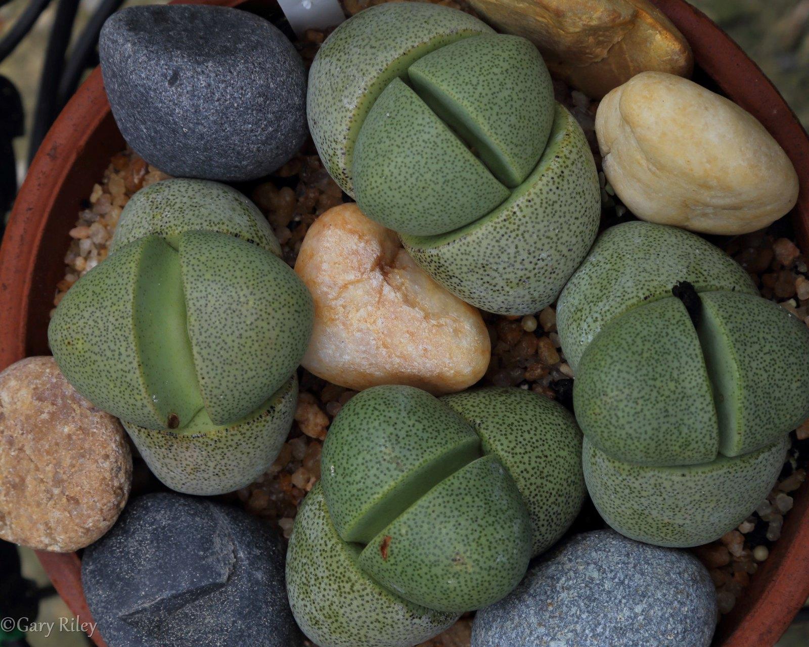 _MG_3391 split rock plants w