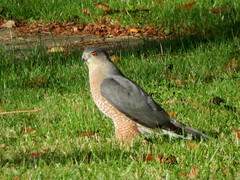Cooper's Hawk, Saylor Park, Indiana Co., PA