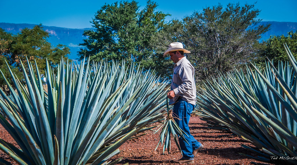 2017 Mexico Tequila Blue Agave Plants On The Road To Flickr