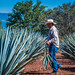 2017 - Mexico - Tequila - Blue Agave Plants por Ted's photos - Returns Apr 24
