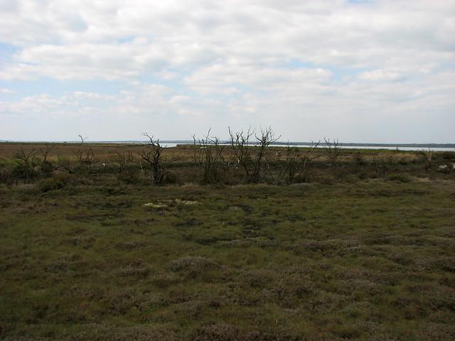 Dead trees on salt marsh near St Lawrence