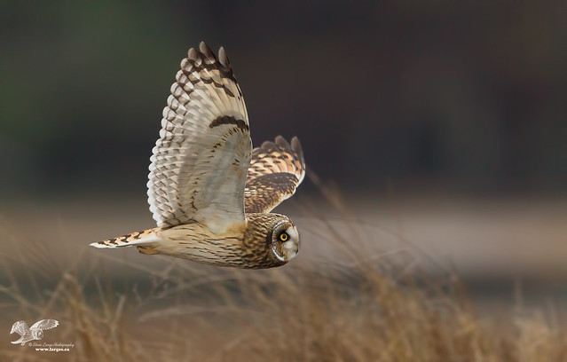 Skimming the Grass (Short-Eared Owl)