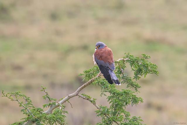Lesser Kestrel (Falco naumanni), male