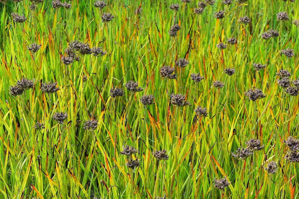 Plants Carex Looks Like Van Gogh Patsy Pond Trl Croatan Nf Flickr