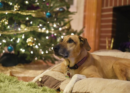Waiting for Christmas. Fenway looks on with such anticipation. | by whateyesee13