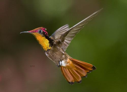 Ruby Topaz Hummingbird