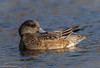 Female American Wigeon (Anas americana) - Lake of the Lillies by JFPescatore