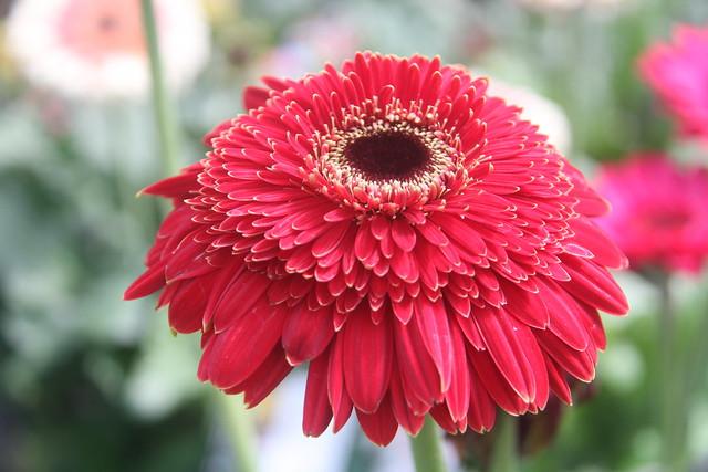 Gerbera rouge foncé de Nouvelle Zélande