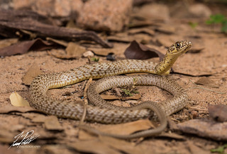 Western Coachwhip | by Frank Portillo