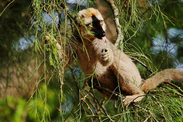 Rufous Brown Lemur (Eulemur rufus) (M)
