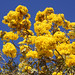 Yellow Trumpet-Tree - Photo (c) Tatters ✾, some rights reserved (CC BY-SA)