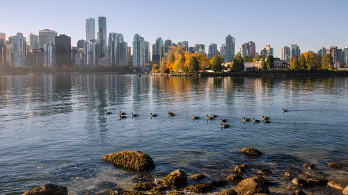 vancouver gaggle swimming autumn group waterfront harbour coalharbour stanleypark shoreline shallows ocean skyline cityscape condominium towers trees morning nikon d7000 dslr downtown britishcolumbia bc tourism landscape geese nature natural formation canadageese goose