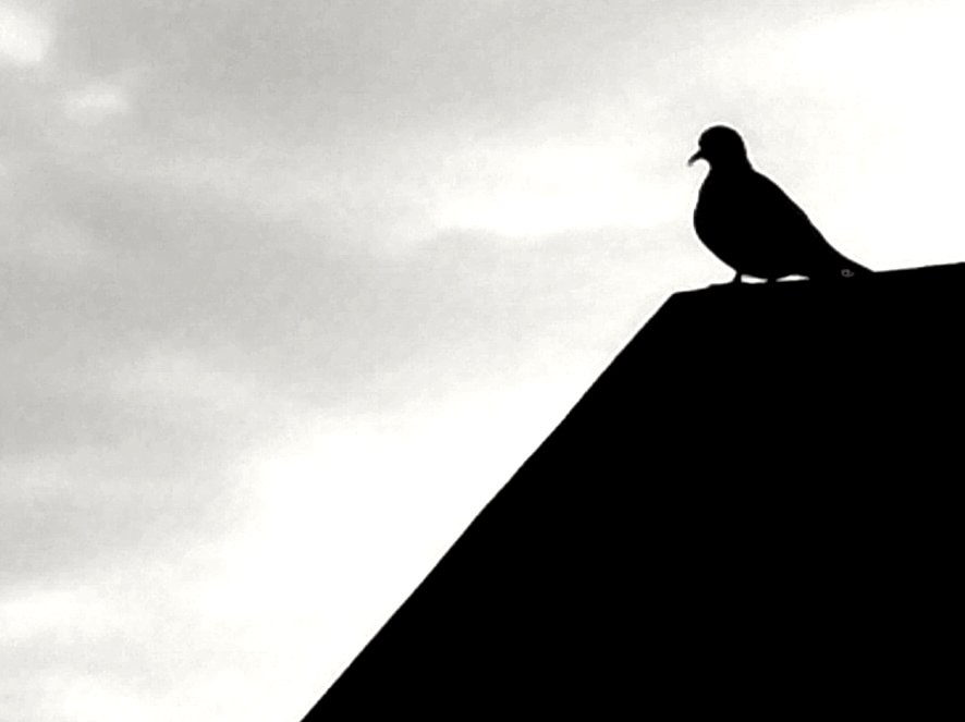 Dove silhouette   Antara Datta   Flickr