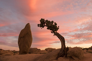 Juniper and Monolith at Sunset | by Joshua Tree National Park