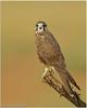 Laggar Falcon by Aravind Venkatraman