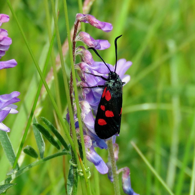 54.009 Narrow-bordered Five-spot Burnet - Zygaena lonicerae