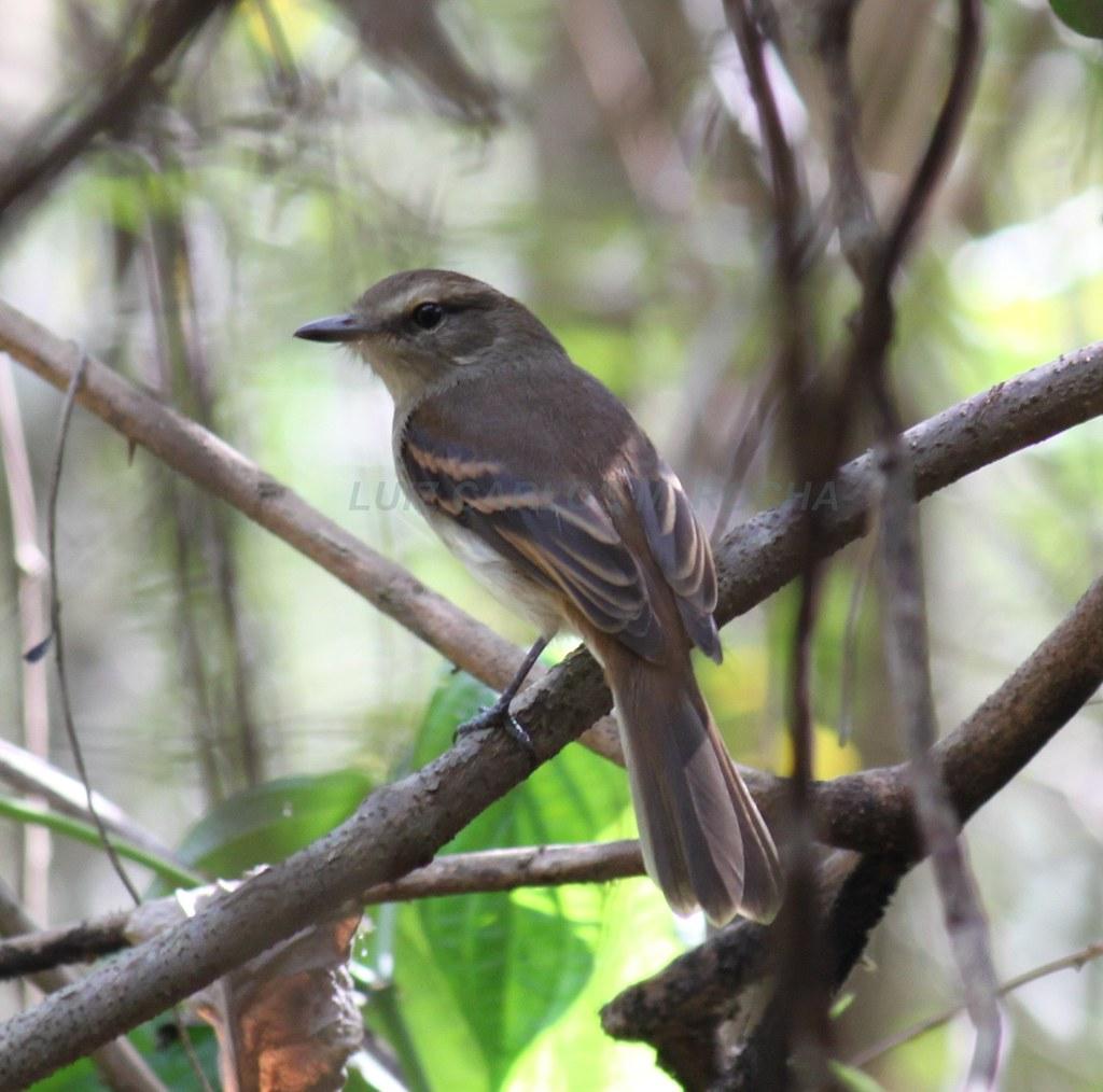 Guaracavuçu - Cnemotriccus fuscatus
