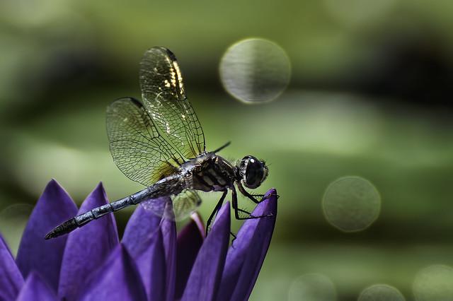 Dragonfly Bokeh