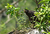 Aguililla Negra Menor - Common Black Hawk by abasora