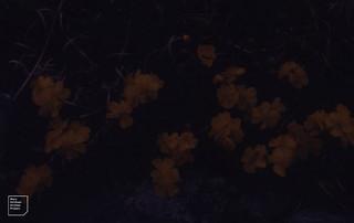 Hoary rockrose. Dark near Kilfenora. 1988