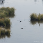 Waterfowl in Christian Pond