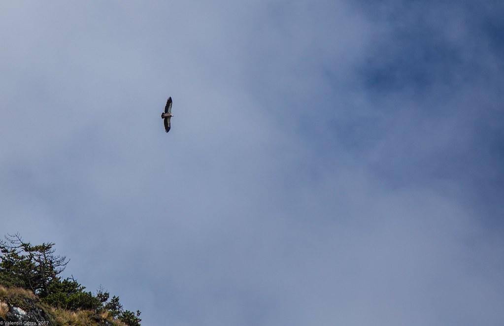 wild_Himalaya_2017_07_vultur barbos 1