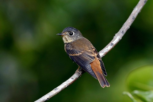 _YT_3240_Ferruginous flycatcher | by lonelyshrimp