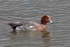 Eurasian Wigeon, Chew Valley Lake, Somerset, England by Terathopius