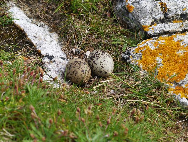 Arctic tern eggs in 'nest' (Sterna paradisaea), Aird Niosaboist, Sound of Taransay, Harris