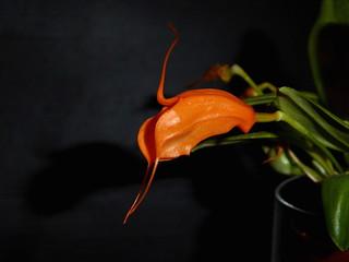 Masdevallia hirtzii | by Orchimatze