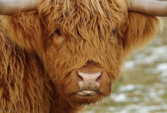 sheffield highland cattle in snow 2017 (8)