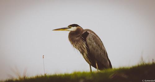 Blue Heron on a rainy day