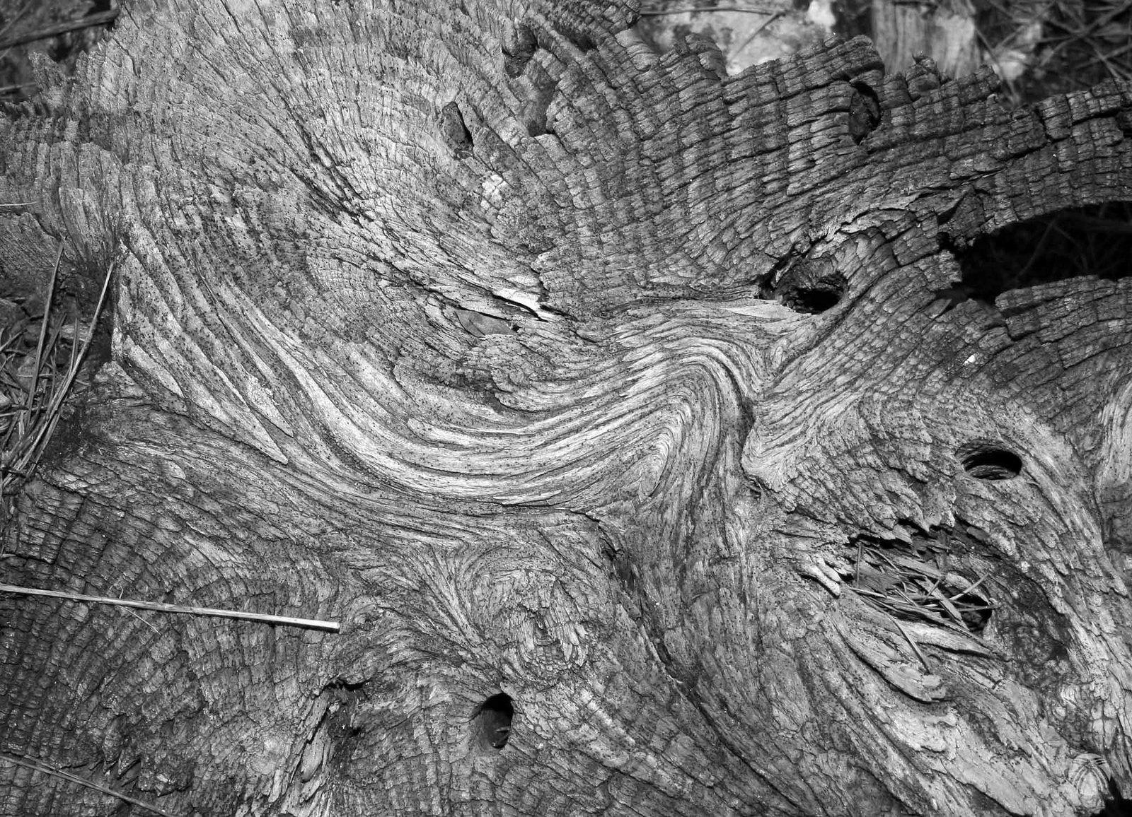 Viejos pinos carrascos