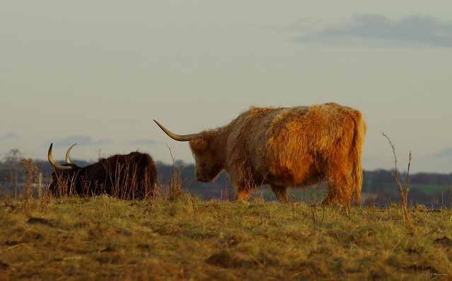 Highland cattle sheffield (7)