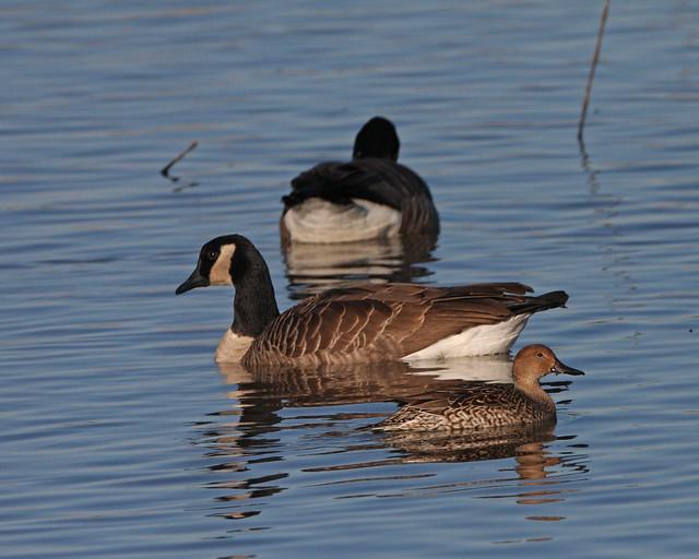 Cackling Goose 5217