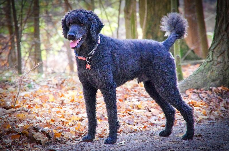 standard-poodle