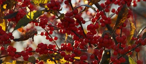 img48620jpg autoupload red berry berries bush arkansas