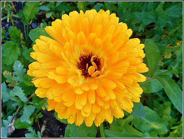 Single Marigold Flower ..