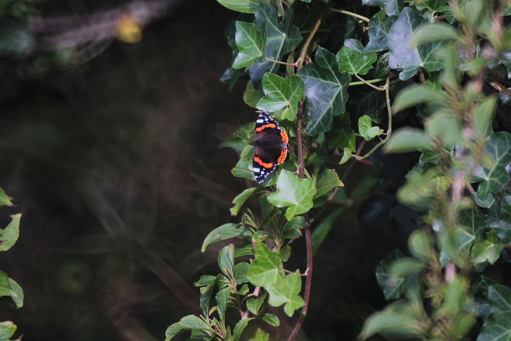 an admiral on ivy