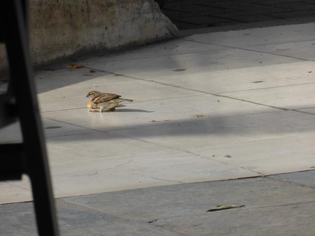 Σπουργίτι -Sparrow    P1030653