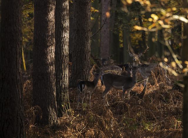 Deer_4627