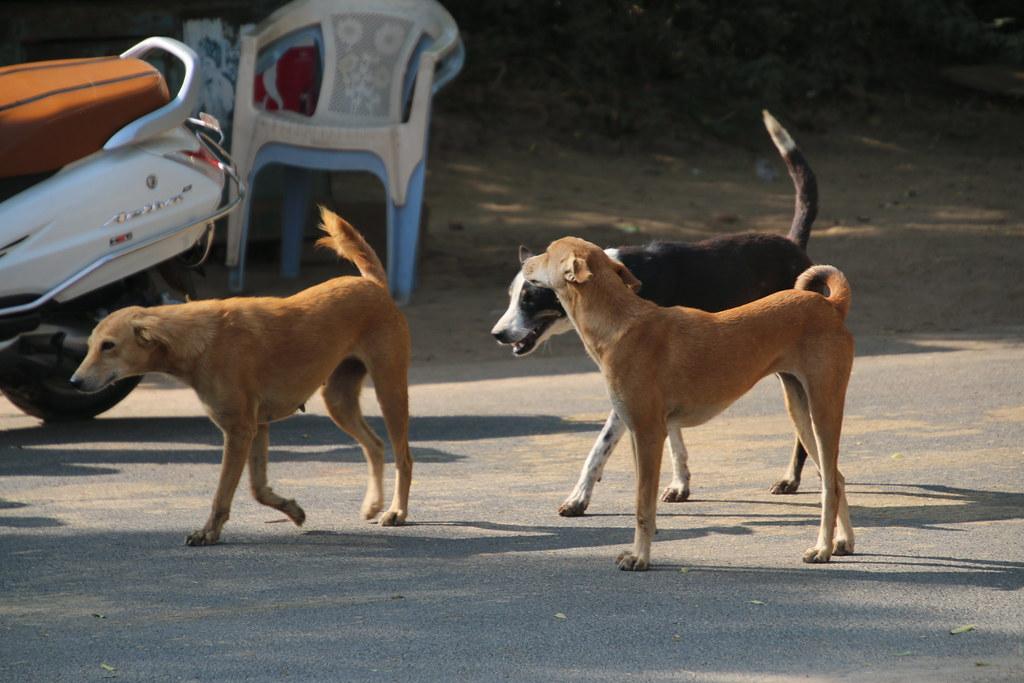 Feral Dogs near Rani ki vav Stepwell near Patan, Gujarat