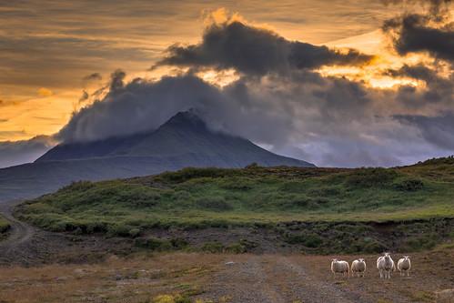 island austurland is sheep sunset landscape mountains clouds animal evening