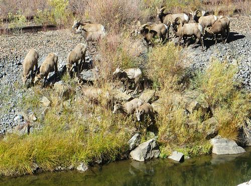 wildlife bighornsheep us50 rural colorado bighornsheepcanyon