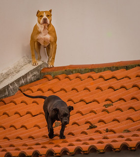 Dogs on Roof , Azores