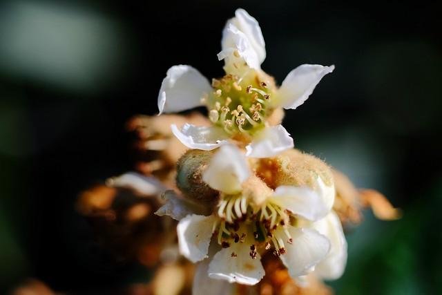 Flor de Nispero