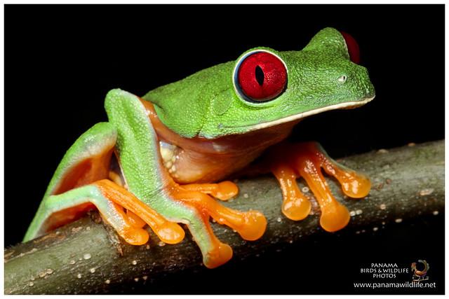 Red-eyed Tree Frog / Rana de Ojos Rojos